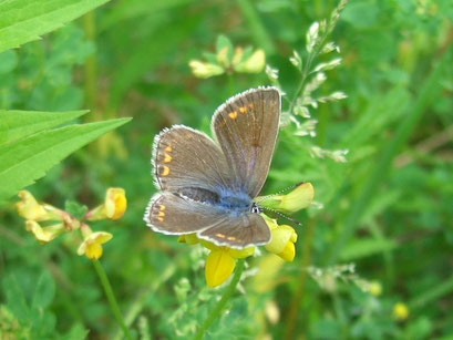 Weibchen von Polyommatus icarus. - Penna, Sandgrube 05.06.2005 - S. Pollrich