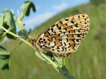 Melitaea didyma (Unterseite). - Ungarn, Balaton, Halbinsel Tihany 17.05.2011 - F. Herrmann