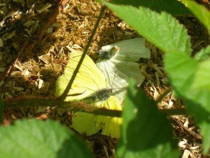 Gonepteryx rhamni während der Balz. - Chemnitz, Klaffenbach 31.05.2009 - A. Pollrich