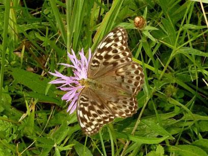Argynnis paphia in der f. valesina auf Wiesen-Flockenblume. - Oberholz, äußere Orchideenwiese - D. Wagler