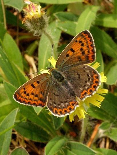 Lycaena tityrus an Kleinen Habichtskraut (Männchen). - Dübener Heide, Laußig 21.05.2009 - D. Wagler