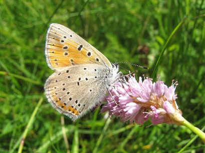Lycaena hippothoe. - Morgenröthe-Rautenkranz, Am Zinsbach 11.07.2010 - F. Herrmann