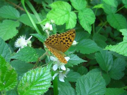 Argynnis paphia. - Crossen 04.07.2005 - S. Pollrich