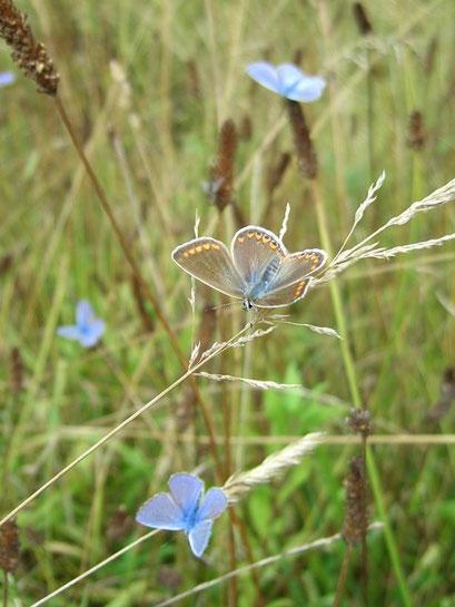 Männchen und Weibchen von Polyommatus icarus. - Niederstriegis 04.08.2006 - S. Pollrich