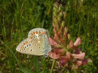 Polyommatus thersites. - Plateau de Gergovie, Auvergne (Frankreich) 13.05.2011 - D. Wagler
