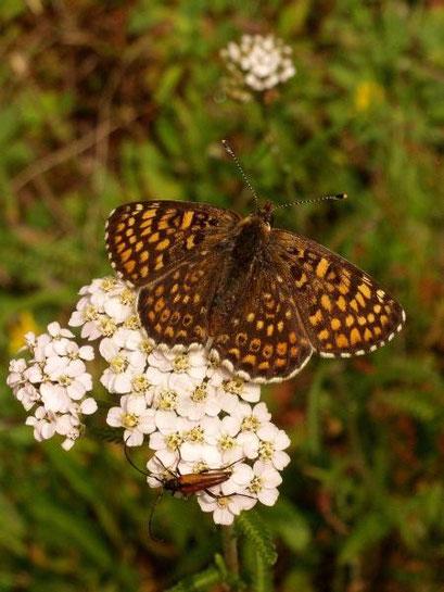 Melitaea cinxia an Gewöhnlicher Schafgarbe. - Dübener Heide, Laußig 24.06.2009 - D. Wagler