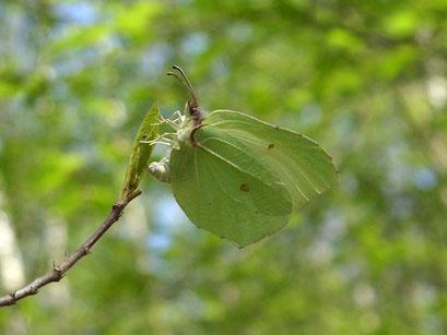 Ein Weibchen vom Zitronenfalter bei der Eiablage am Faulbaum. - Oberholz, Breiter Weg 12.04.2009 - D. Wagler