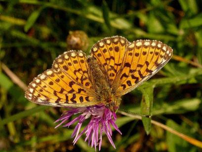 Der Braunscheckige Perlmutterfalter auf Wiesen-Flockenblume. - Oberholz, äußere Orchideenwiese 05.08.2009 - D. Wagler