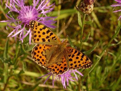 Issoria lathonia auf Wiesen-Flockenblume. - Oberholz, äußere Orchideenwiese 05.08.2009 - D. Wagler