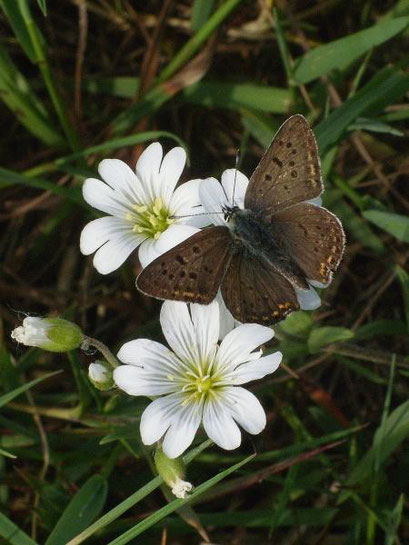Lycaena tityrus an Gewöhnlichen Hornkraut. - Dübener Heide, Laußig 21.05.2009 - D. Wagler