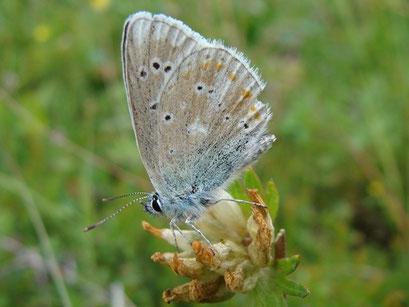 Polyommatus dorylas. - Österreich, Tirol, St. Ullrich am Pillersee 11. Juli 2012 - F. Herrmann
