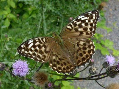 Argynnis paphia in der f. valesina an Acker-Kratzdistel saugend. - Bienitz, Rodelbahn 27.07.2009 - D. Wagler