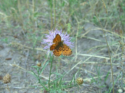 Boloria selene. - Oranienbaumer Heide (ST) 21.07.2007 - S. Pollrich