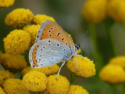 Lycaena dispar. - Wiese in Neuschirgiswalde, Hexenfeuerplatz 09.08.2012 - K. Thomas