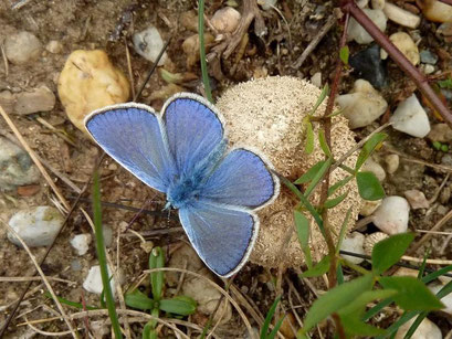 Polyommatus icarus (Männchen). - Schkeuditz, Gerbisdorf, Magere Frischwiese 05.10.2013 - D. Wagler
