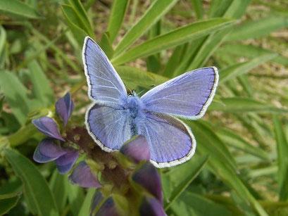 Polyommatus icarus an Bastard-Luzerne. - Böhlen, Rückhaltebecken Stöhne 30.05.2006 - D. Wagler