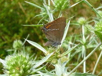 Satyrium spini. - Tschechien, Kadaň (Kaaden), Úhošť (Burberg) - národní přírodní rezervace (Nationalen Naturreservat) 03.08.2013 - F. Herrmann