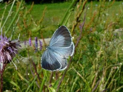 Celastrina argiolus. - Bienitz, Rodelbahn 08.07.2013 - D. Wagler