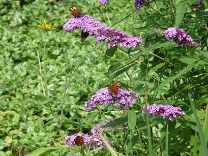 Aglais io an Sommerflieder saugend. - Chemnitz, Botanischer Garten 08.08.2009 - A. Pollrich