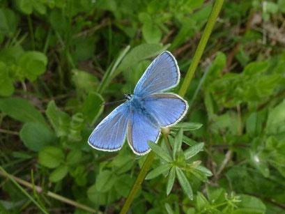 Polyommatus icarus. - Bienitz, Südhang, Sandweg 17.05.2012 - D. Wagler