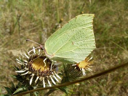 Goenepteryx rhamni auf Golddistel. - Oberholz, ehem. Hochspannungstrasse 19.08.2006 - D. Wagler