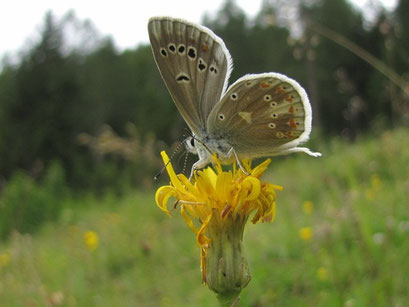 Polyommatus dorylas. - Österreich, Tirol, St. Ullrich am Pillersee 10. Juli 2012 - F. Herrmann