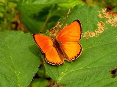 Lycaena virgaureae. - Kossa, Schneise im Kiefernwald 21.06.2011 - D. Wagler
