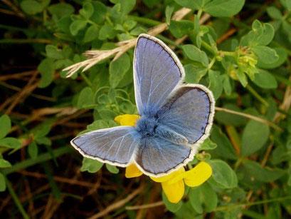 Polyommatus icarus an Gewöhnlichen Hornklee. - Bienitz, Südhang, Sandweg 07.08.2009 - D. Wagler