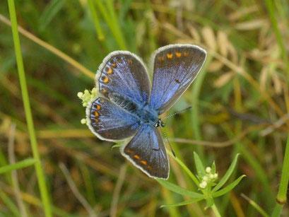 Polyommatus icarus an Wiesen-Labkraut. - Bienitz, Südhang, Sandweg 01.06.2008 - D. Wagler