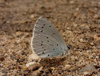 Celastrina argiolus. - Bienitz, Südhang, Sandweg 19.06.2009 -  D. Wagler