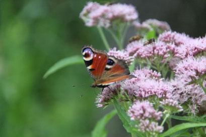 Überall hat's Schmetterlinge