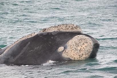 Peninsula Valdes N.P. - Ganz gross sehen wir dafür die Wale