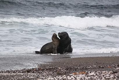 Südlich des Cabo Tombo N.P. - direkt am Strand beobachtet