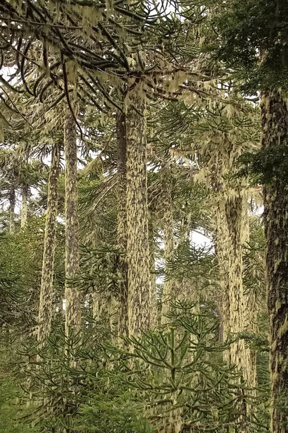 Araukarienwälder - Villarica N.P.