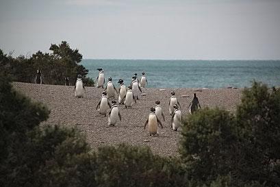 Cabo Tombo N.P. - Magellan Pinguine