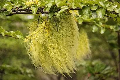 Torres del Paine N.P. - bärtige Schmarozerpflanzen