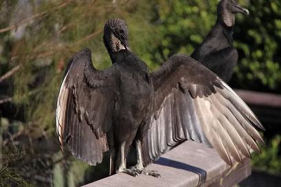 ... und trocknen sich die Flügel an der Sonne - Everglades