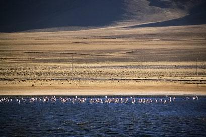 Flamingos in der Laguna Chica