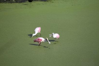 Spoonbills - Myakka River