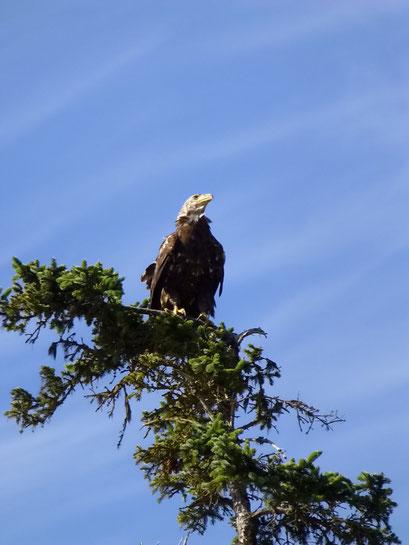 Weisskopf-Seeadler, Skagway, Alaska