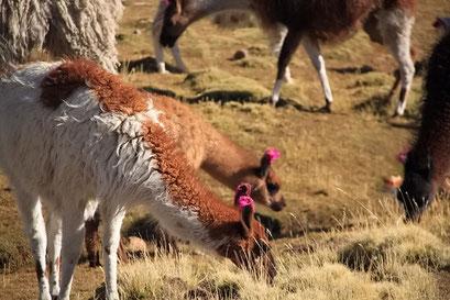 Lamas - die farbigen Fäden in den Ohren kennzeichnen sie für die Besitzer