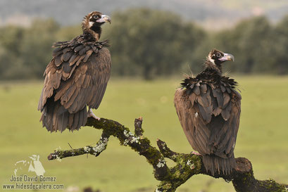 photography black vultures