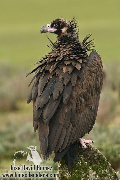 black vulture photo nature
