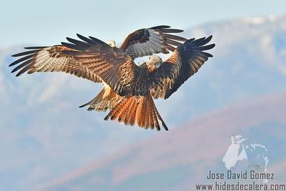red kites flight shot