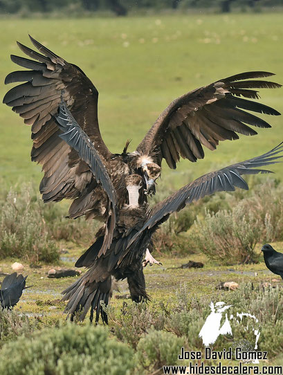 black vultures hide