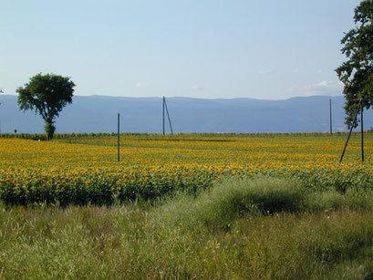 Un champ de tournesols dans la campagne genevoise.                                                                            Photos de Rémy Détraz