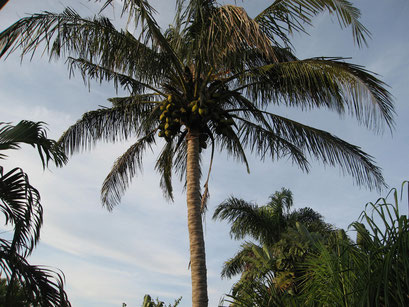 25.05.2014 Vorsicht vor herabfallenden Früchten (St. Lucia)