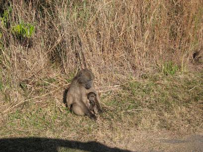 27.05.2014 Tiere haben immer Vortritt. Fahrt zu den Drakensbergen