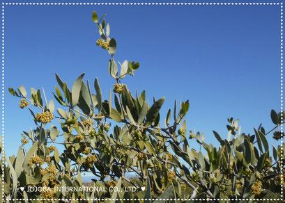 ❦ Jojoba Original Species(純粋種Sayuri原種ホホバ)on March 私達の農園にて 撮影: リックさん