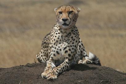 Massai Mara Kenia